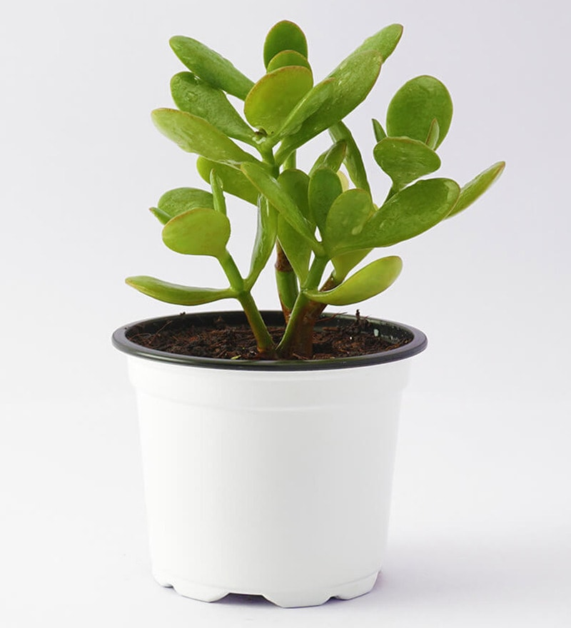 Crassula Ovata Natural Foliage Plant by Ugaoo