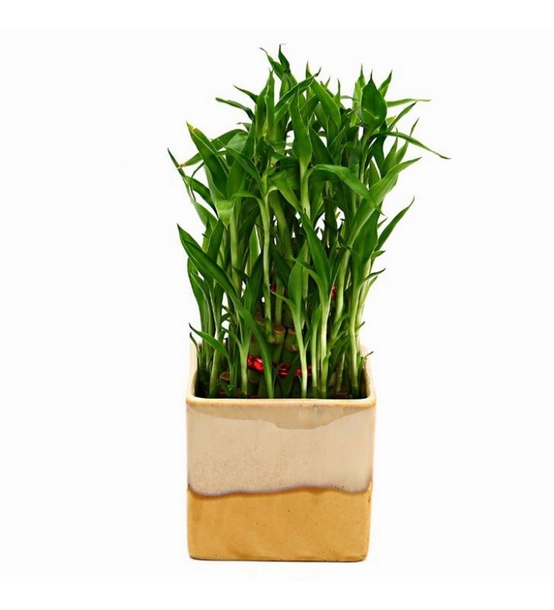 Bamboo Plant with Cream & Cookie Ceramic Pot by Exotic Green