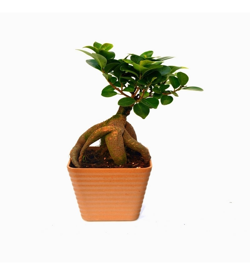 Ficus Bonsai Plant with Brown Fibre Pot by Exotic Green