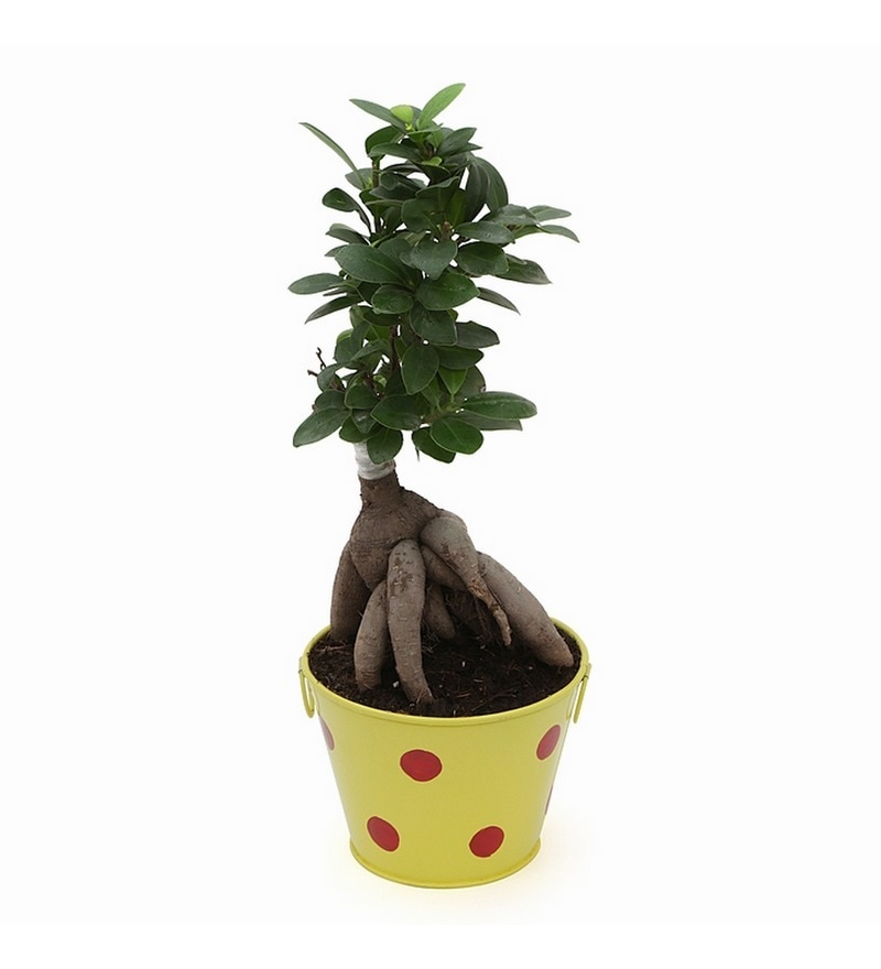 Ficus Bonsai Plant with Yellow Metallic Pot by Exotic Green