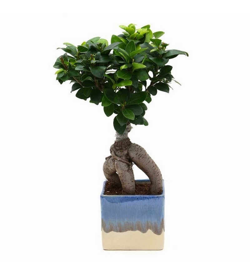 Ficus Bonsai Plant with White & Blue Ceramic Pot by Exotic Green