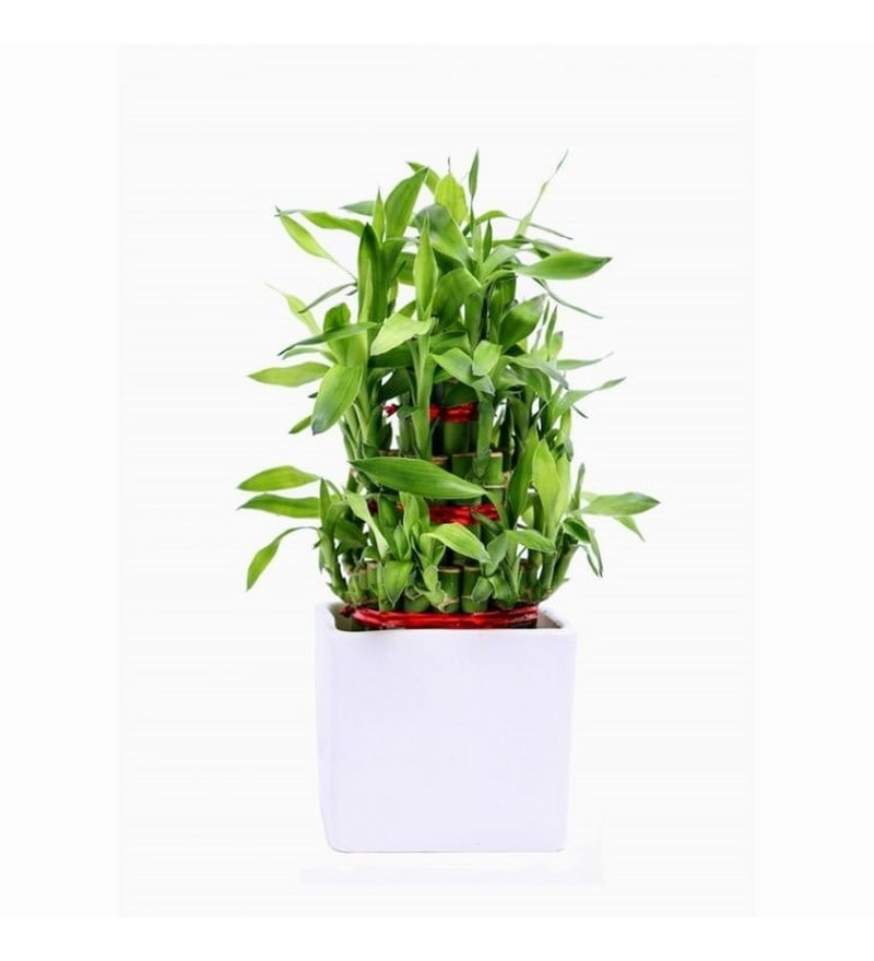 Lucky Bamboo Plant with White Ceramic Pot by Exotic Green