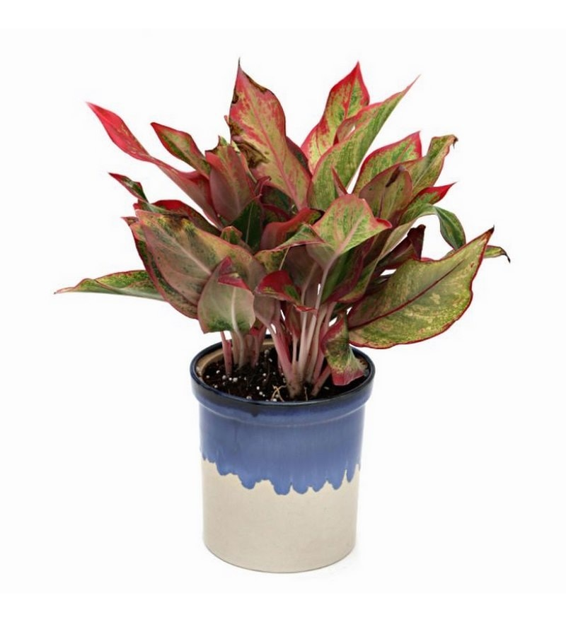 Aglaonema Indoor Plant with Blue Ceramic Pot by Exotic Green