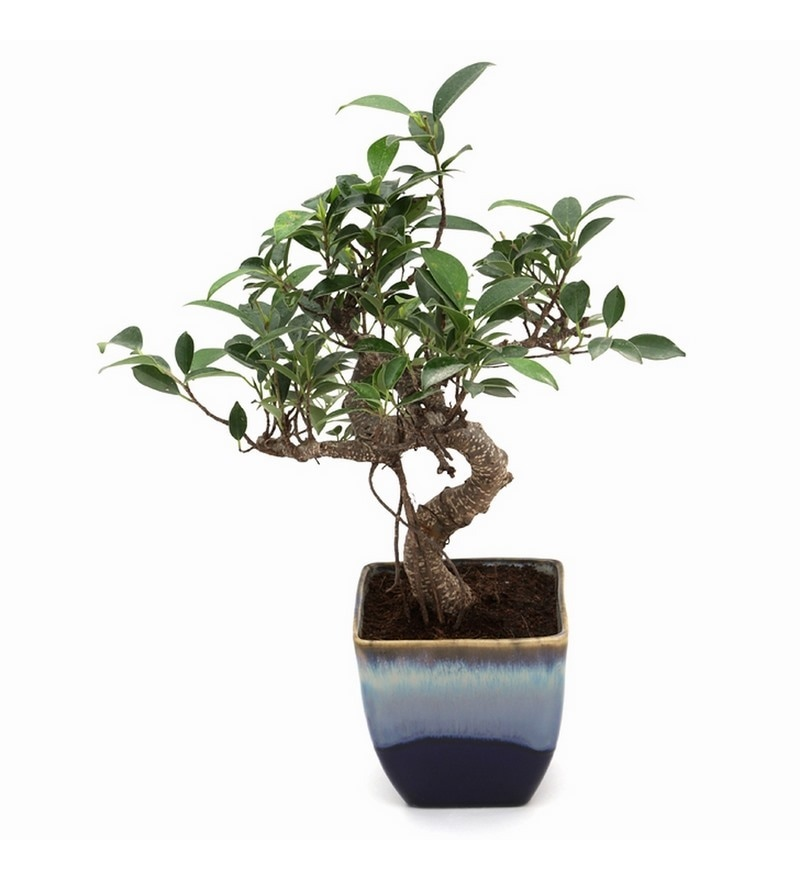 S-Shaped Ficus Bonsai Plant with Ocean Blue Ceramic Pot by Exotic Green