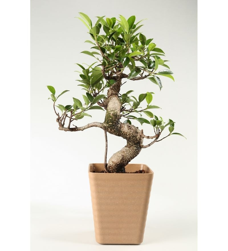 S-Shaped Ficus Bonsai Plant with Brown Fibre Pot by Exotic Green