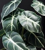 Green Polyester Premium Range Alocasia with Ceramic Vase by Fourwalls
