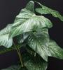 Green Polyester Premium Range Caladium In Ceramic Vase by Fourwalls