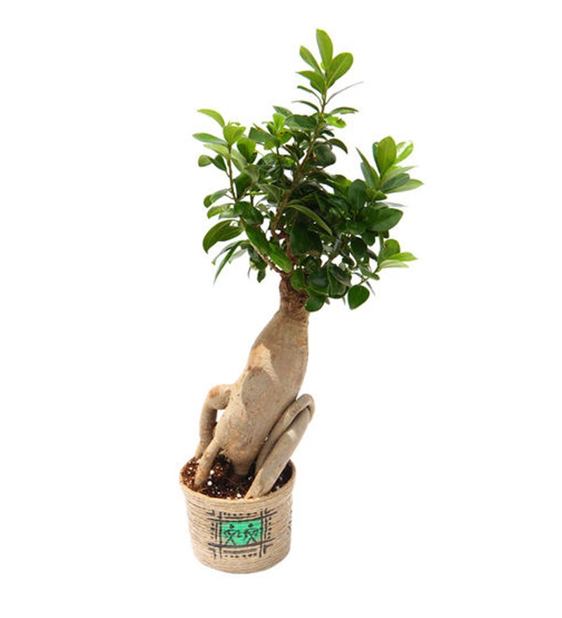 Nurturing Green Grafted Ficus Plant