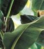 Green Non Woven Fabric Banana Tree Wallpaper by Marshalls WallCoverings