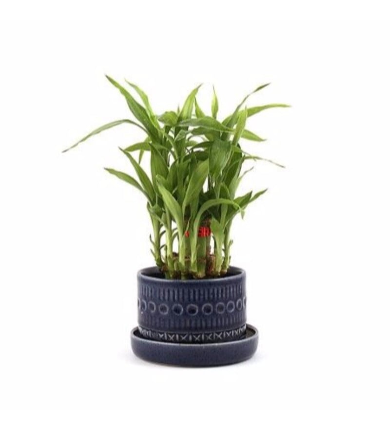 Natural Blue Ceramic Traditional Pottery 2 Layer Lucky Bamboo Plant Grande by Nurturing Green