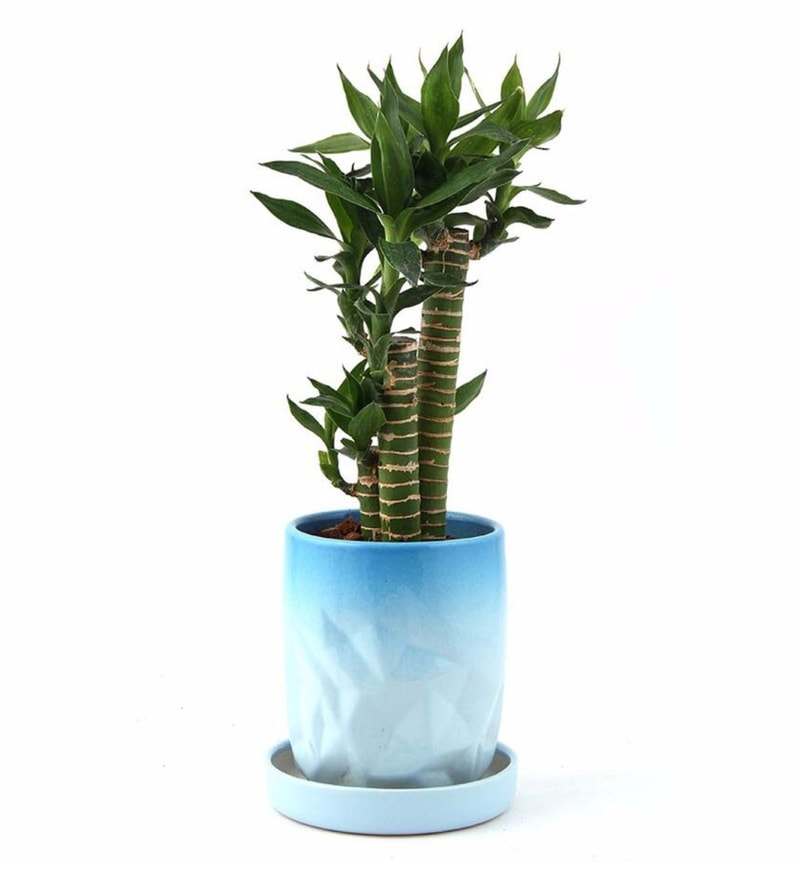 Natural Ceramic Inspiring Cutleaf Bamboo Plant by Nurturing Green