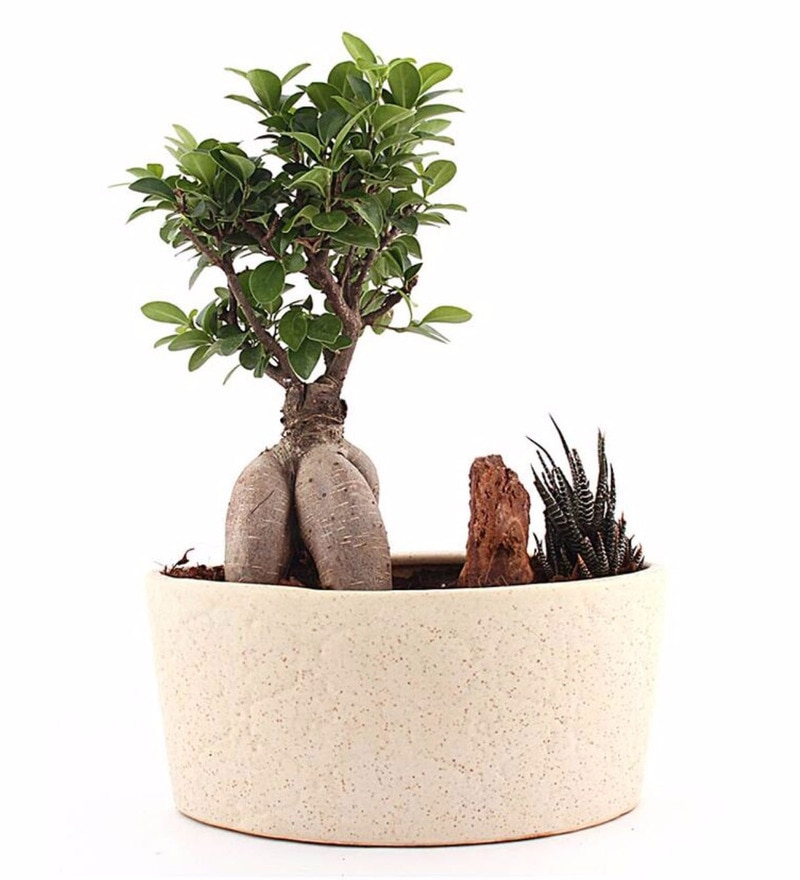 Natural Ceramic Marble Grande 5 Year Ficus Bonsai Plant by Nurturing Green
