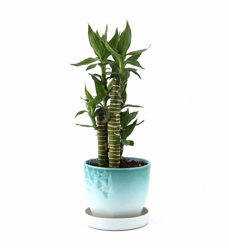 Natural Ceramic Mint Candy Cutleaf Bamboo Plant by Nurturing Green