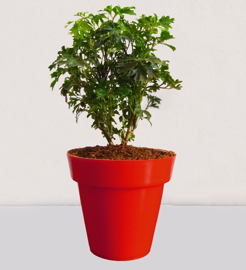 Natural Plant Aralia in Small Red Colorista Pot by Rolling Nature