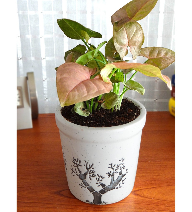 Natural Plant Syngonium in White Jar Aroez Pot by Rolling Nature