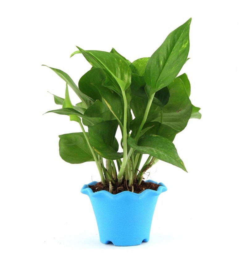 Natural Plastic Cool Lite Money Plant by Nurturing Green