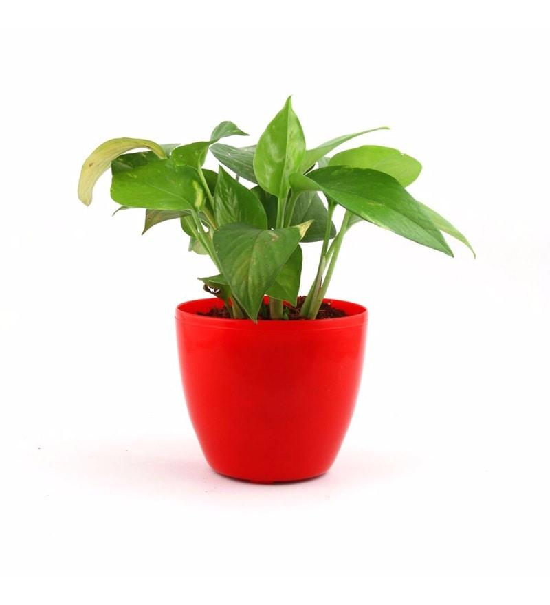 Natural Plastic Joyous Lite Pothos by Nurturing Green
