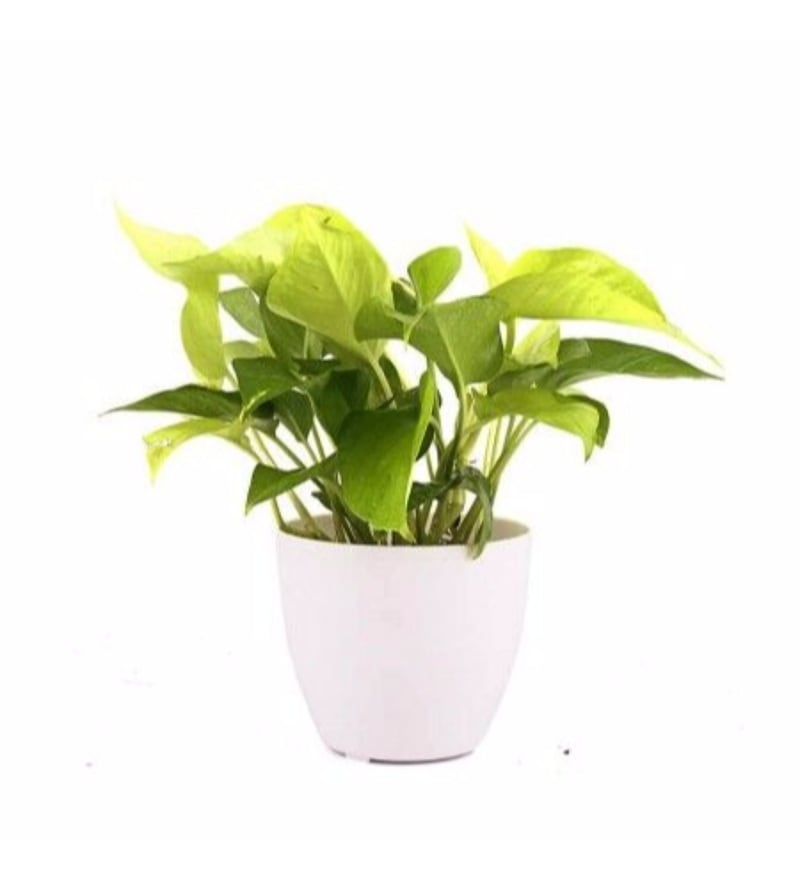 Natural Plastic Pearl Lite Pothos Plant by Nurturing Green