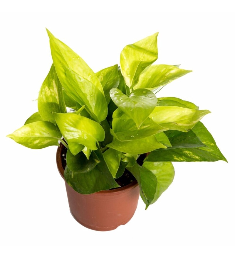 Natural Plastic Winning Pothos Plant by Nurturing Green