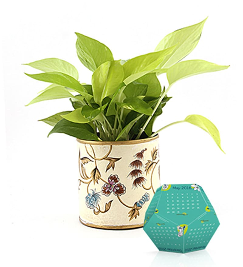Golden Money Plant & Metallic Gift Combo by Nurturing Green