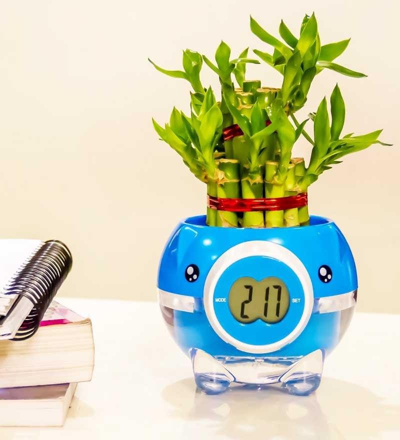 Nurturing Green 2 Layer Big Lucky Bamboo Plant In Blue Pig Pot