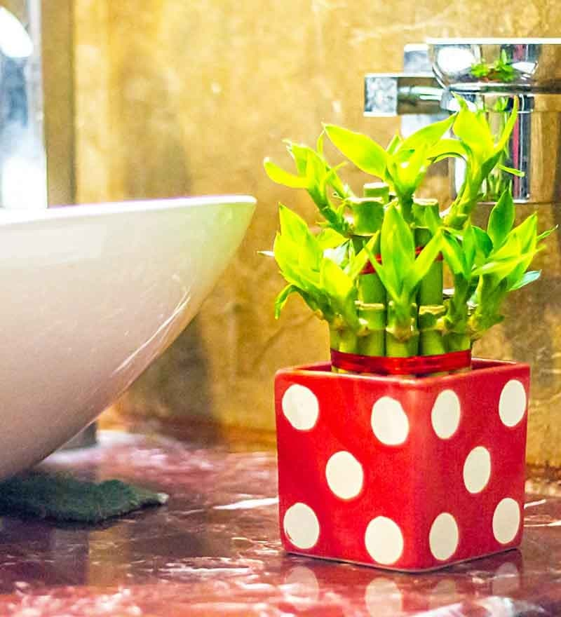Nurturing Green 2 Layer Big Lucky Bamboo Plant In Red Polka Ceramic Pot