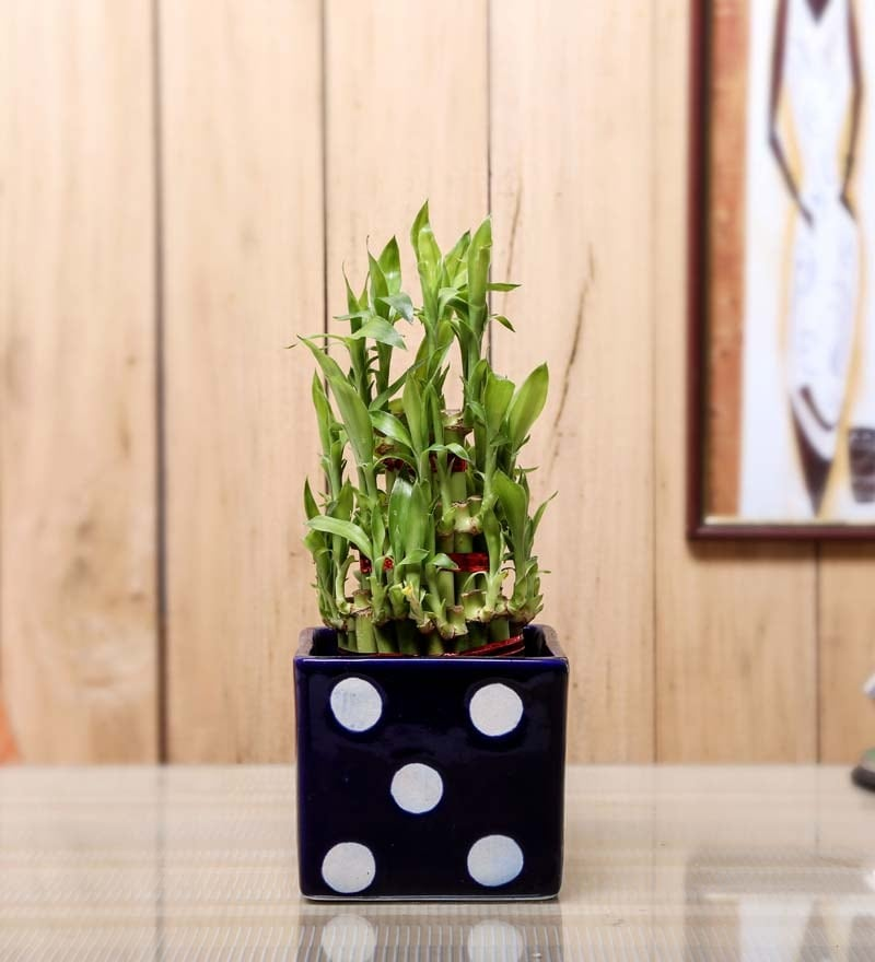 Nurturing Green Lucky Bamboo 3 Layer Square Plant & Ceramic Pot with Polka Dots In Black