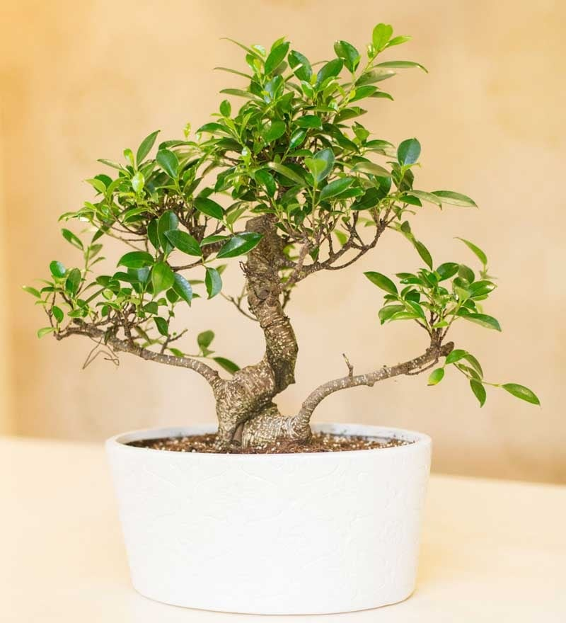 Nurturing Green Ficus Plant with White Ceramic Pot