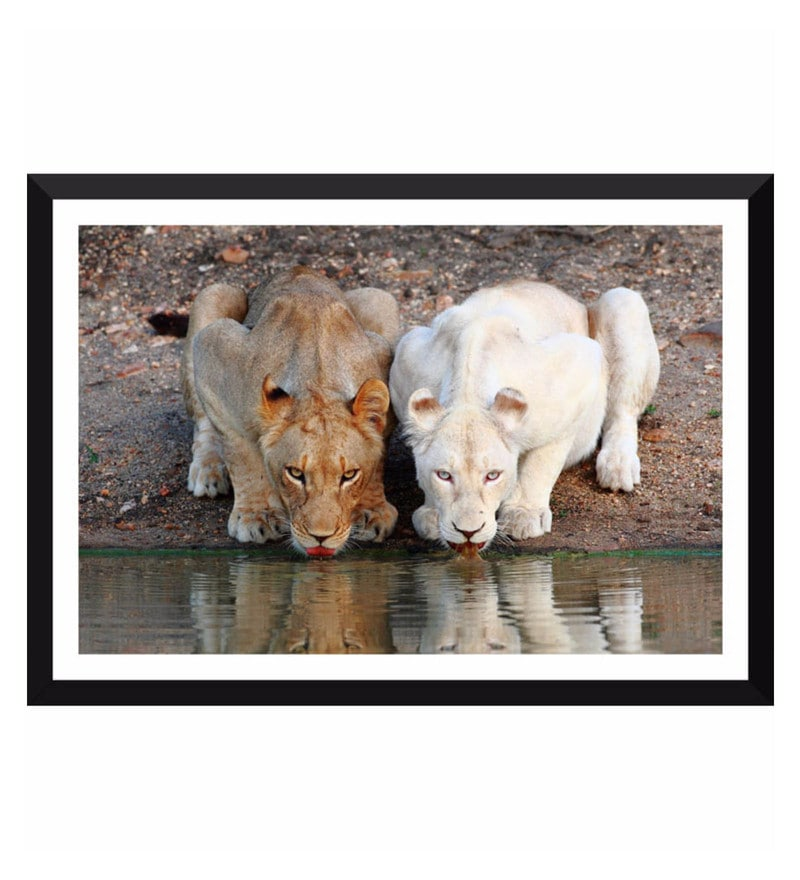 Poster Paper 17 x 11 Inch Gazing Lions Framed Poster by Tallenge