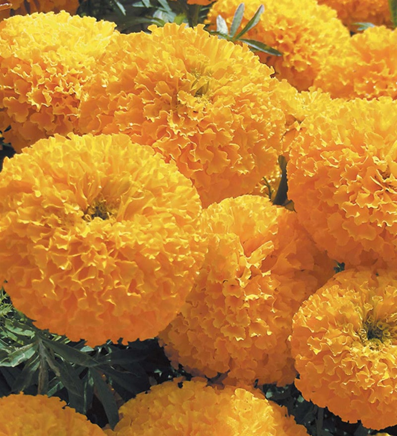 African Double Marigold Seeds by Pyramid Seeds