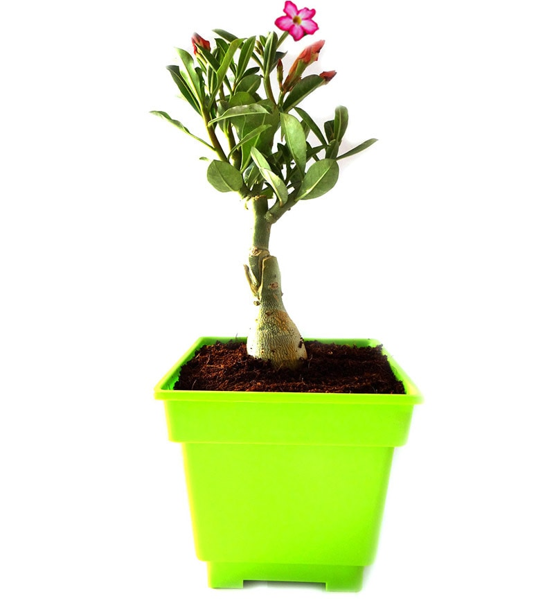 Adenium Bonsai In Green Square Pot by Rolling Nature