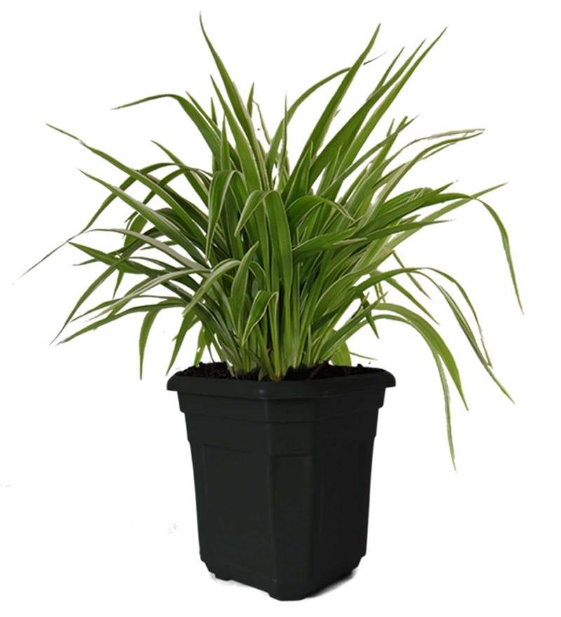 Air Purifying Spider Plant in Black Hexa Pot by Rolling Nature