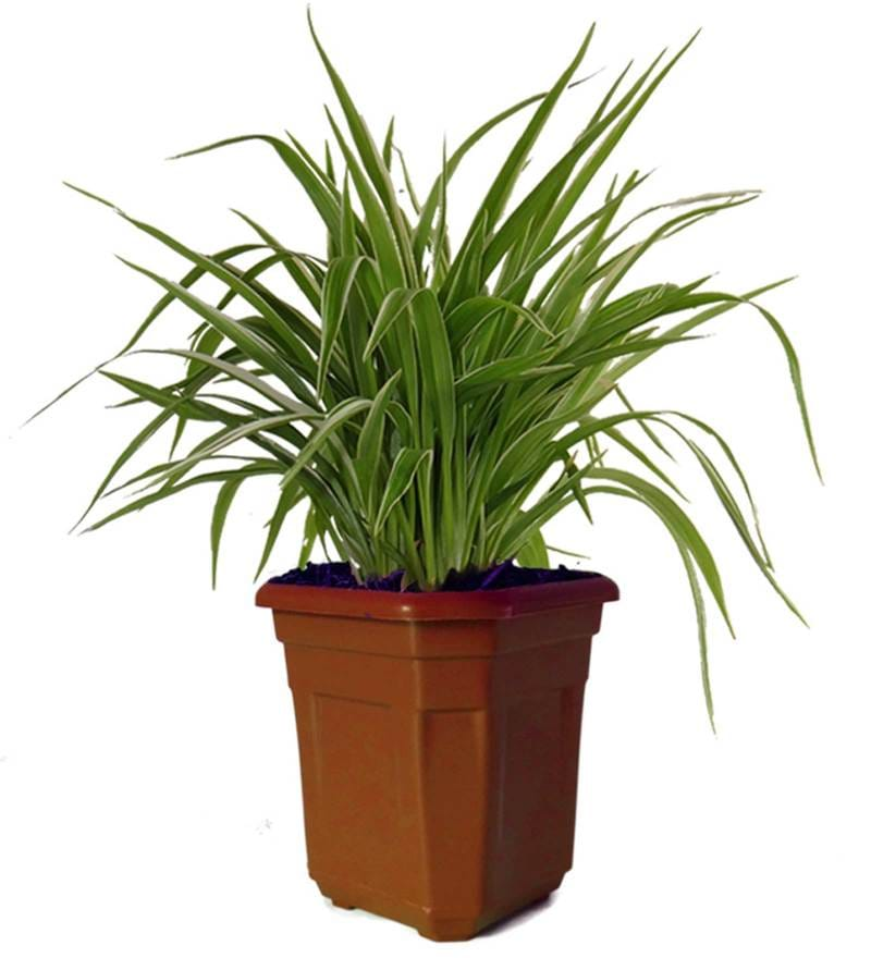 Air Purifying Spider Plant in Brown Hexa by Rolling Nature