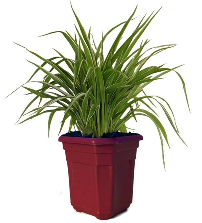 Air Purifying Spider Plant in Maroon Hexa Pot by Rolling Nature