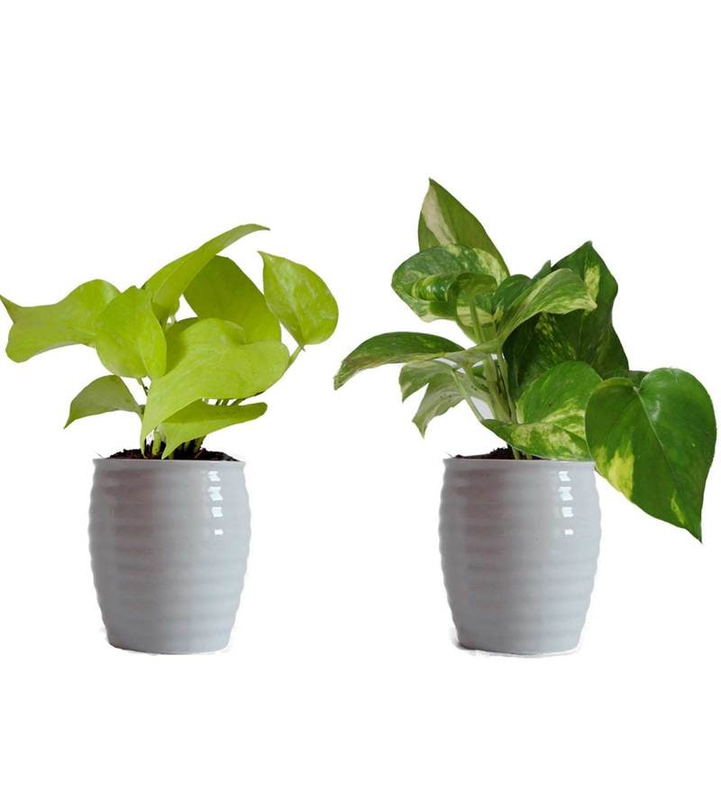 Combo of Good Luck Money Plant and Golden Pothos in White Ceramic Pot by Rolling Nature