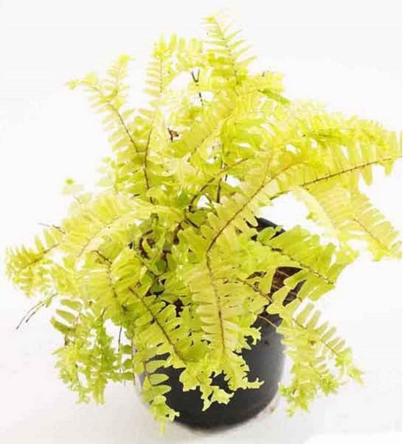 Fern Gold Plant with Pot by Rolling Nature