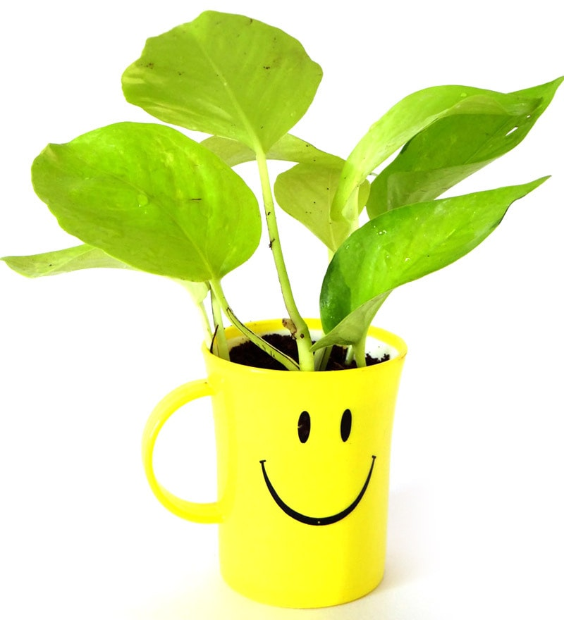 Golden Pothos in Smiley Cup by Rolling Nature