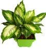Rolling Nature Dieffenbachia Camilla in Green Square Pot