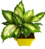 Rolling Nature Dieffenbachia Camilla in Yellow Square Pot