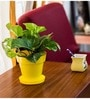 Money Yellow Plant with Pot by Rolling Nature